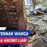 TERNAK WARGA REMBANG TEWAS DISERANG ANJING LIAR 1