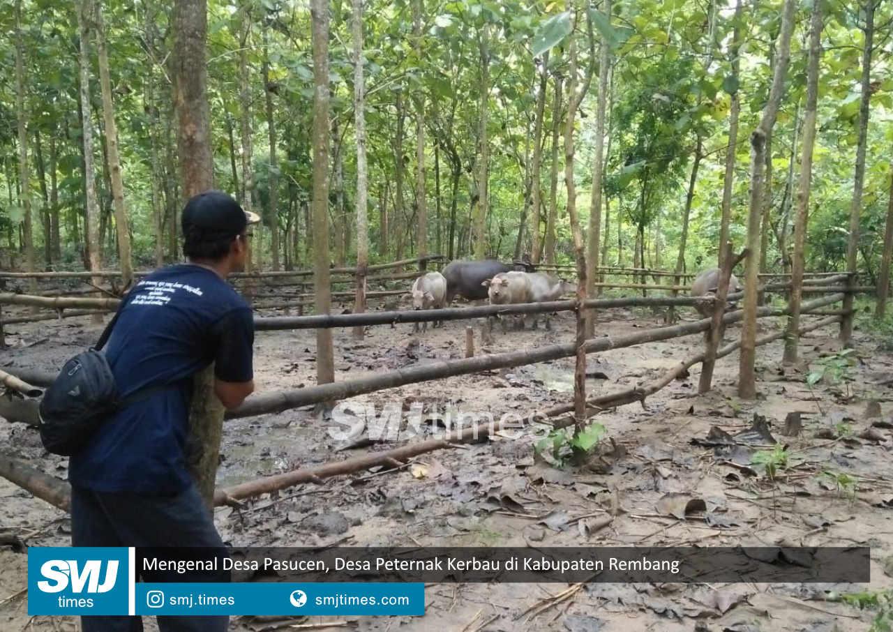mengenal desa pasucen desa peternak kerbau di kabupaten rembang