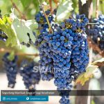segudang manfaat anggur bagi kesehatan