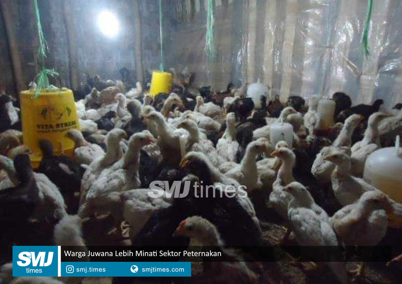 warga juwana lebih minati sektor peternakan