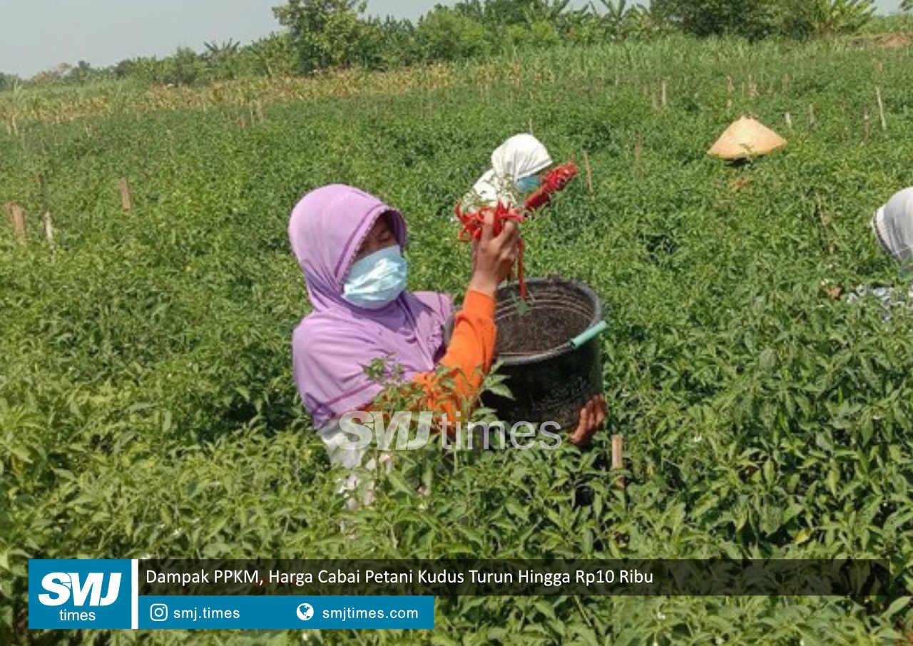 dampak ppkm harga cabai petani kudus turun hingga rp10 ribu