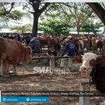 potensi hewan ternak tularkan covid 19 kecil warga dimbau tak cemas
