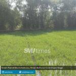 tanam padi di musim kemarau petani berharap curah hujan tinggi