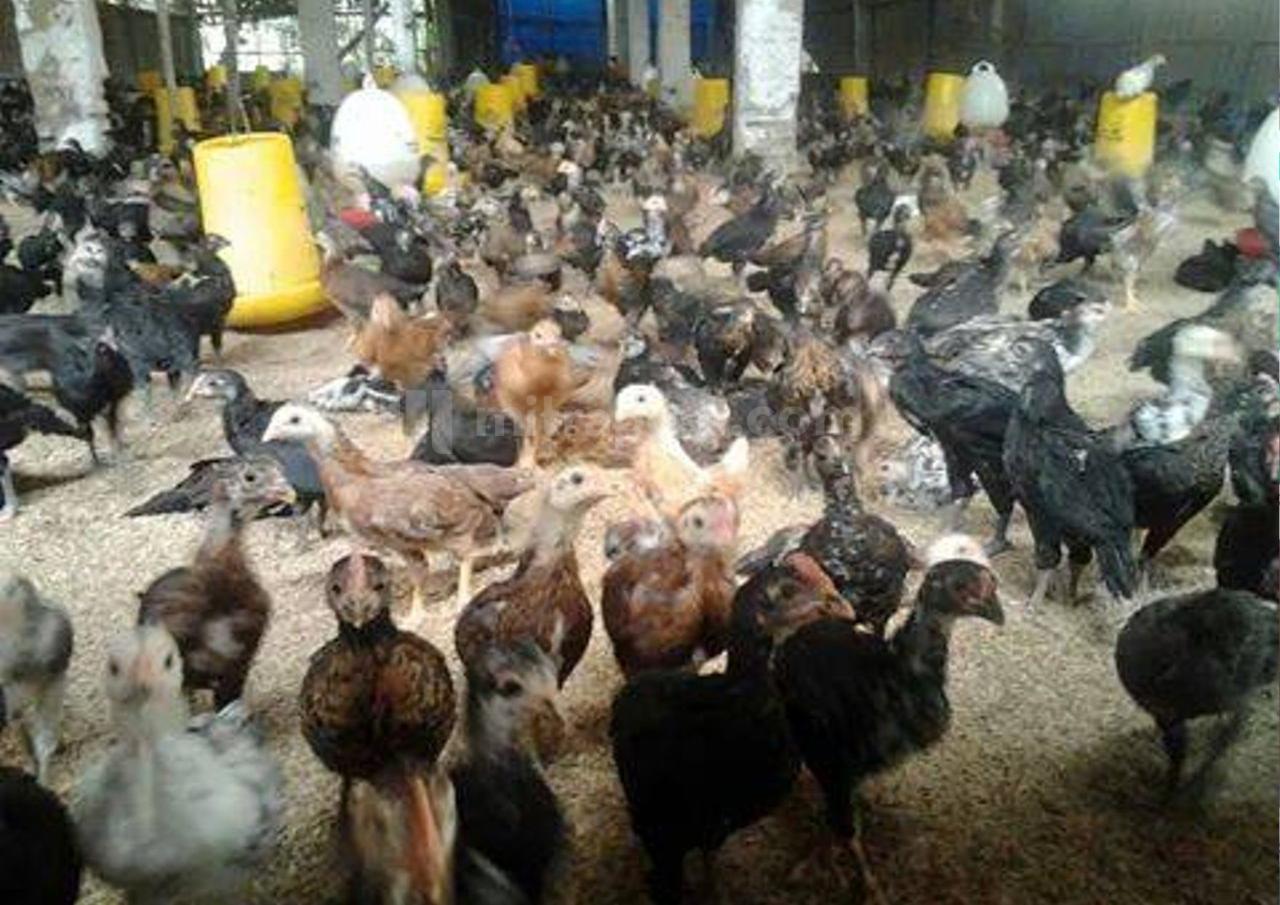 Dinas Lingkungan HidupDilema Tanggapi Aduan Bau Kandang Ayam