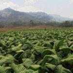 musim panen petani tembakau pati pasarkan produk melalui kemitraan